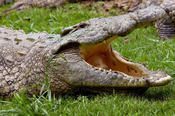 Có hơn 200 con cá sấu hiện sống ở sôngVishwamitri, bang