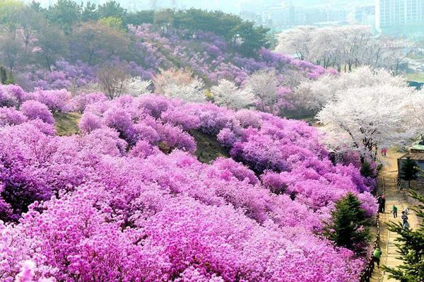 Đẹp ngây ngất lễ hội hoa đỗ quyên hồng Hàn Quốc