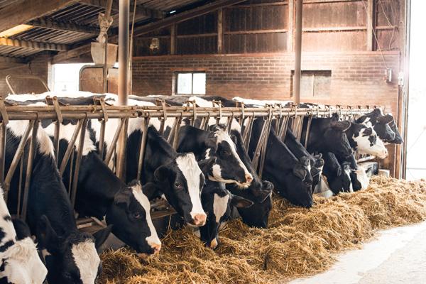 Bò Hà Lan có chế độ dinh dưỡng đặc biệt để đảm bảo sản lượng sữa. Ảnh:FrieslandCampina.