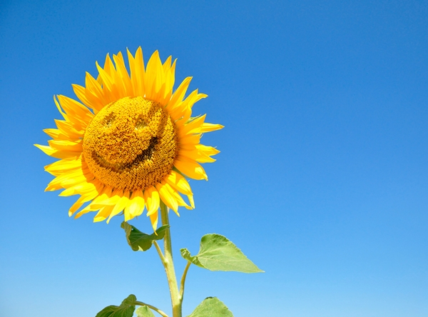 bigstock-Sunflower-With-A-Smil-3842-3355