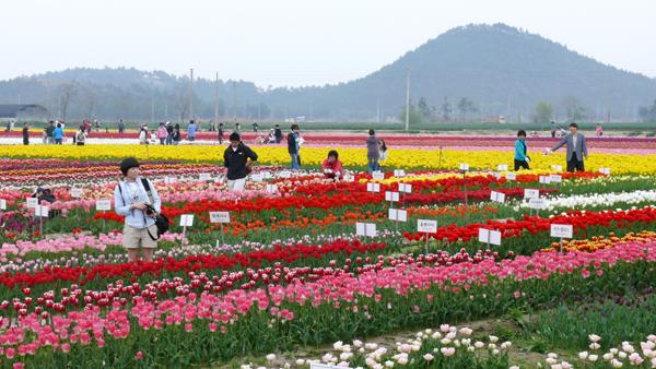 tthq-sinan-tulip-5821-1430701311.jpg