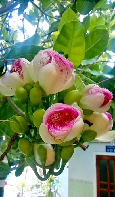 Nhưng khi nở thành hoa thì lại kiêu sa đến không ngờ.