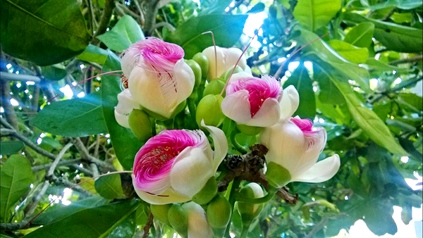 Không ít người đến Lý Sơn chỉ để tận mắt chứng kiến vẻ đẹp của hoa bàng vuông. Ảnh: Trần Việt Dũng.