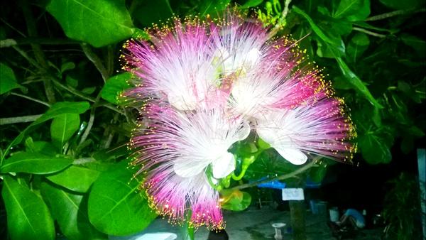 Tháng 5 là mùa hoa bàng vuông nở ở Lý Sơn. Ảnh: Trần Việt Dũng.