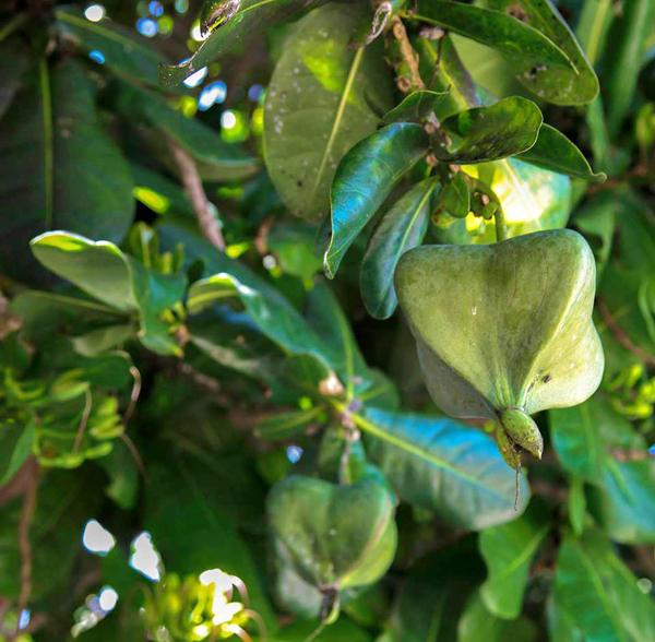 Quả của loài cây này thuộc họ bàng nhưng có 4 cạnh nên được gọi là bàng vuông. Ảnh: Nguyễn Hữu Tiệp.