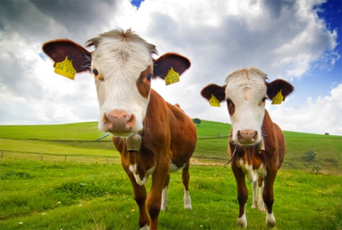 cow-3165-1433561777.jpg