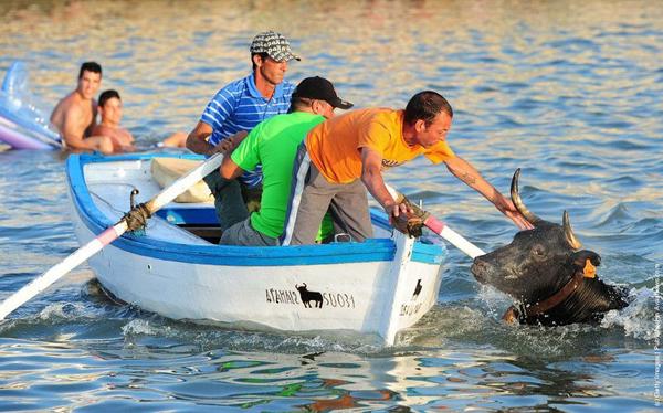 Sau khi bị rơi xuống biển, những chú bò sẽ được kéo lên bờ.