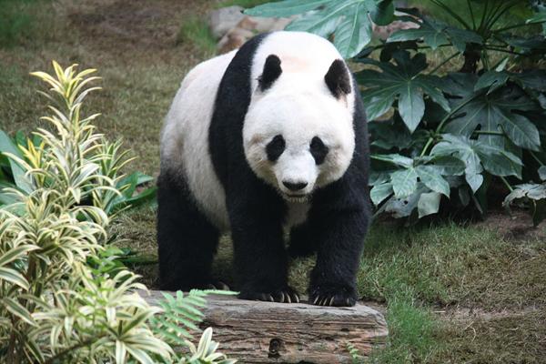 panda-JPG-6141-1440217618.jpg