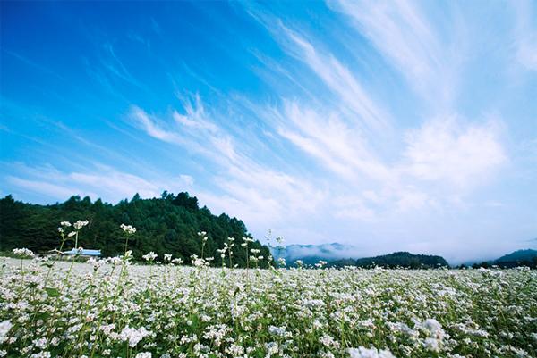Lễ hội hoa tam giác mạch ở Hàn Quốc