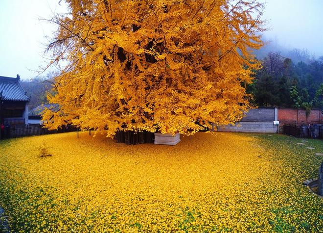 Ngân hạnh vàng 1.400 tuổi nổi tiếng ở Trung Quốc