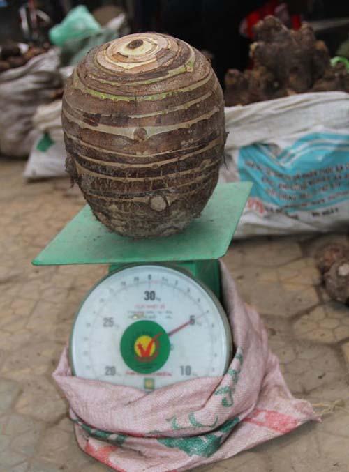 cu-khoai-so-nang-5-kg-duoc-tra-gia-3-5-trieu-dong