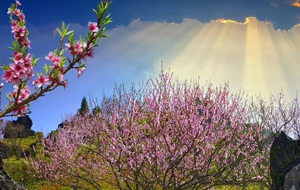 Hoa đào Sapa bung nở mỗi độ xuân về. Ảnh: dulichhanoi.