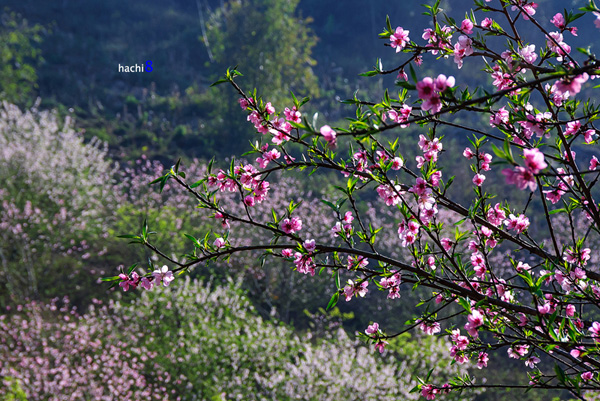 Đào Mộc Châu khoe sắc bên những khóm hoa mận. Ảnh: Hachi8.
