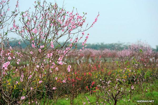 Đến Hà Nội dịp xuân về, đừng quen ghé Nhật Tân ngắm hoa đào.