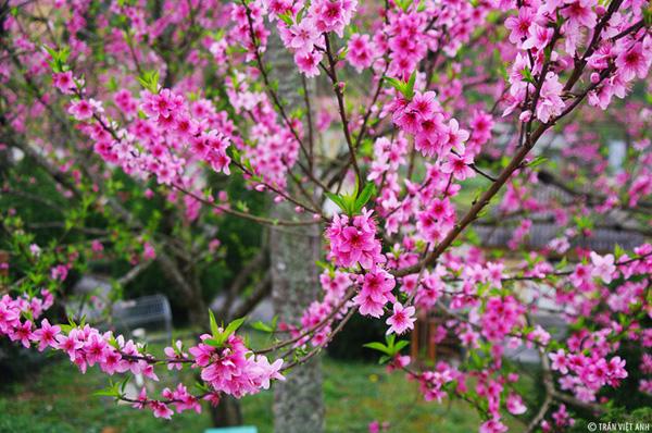 Đào Hà Giang ra hoa thường muộn hơn các vùng khác. Ảnh: Trần Việt Anh.