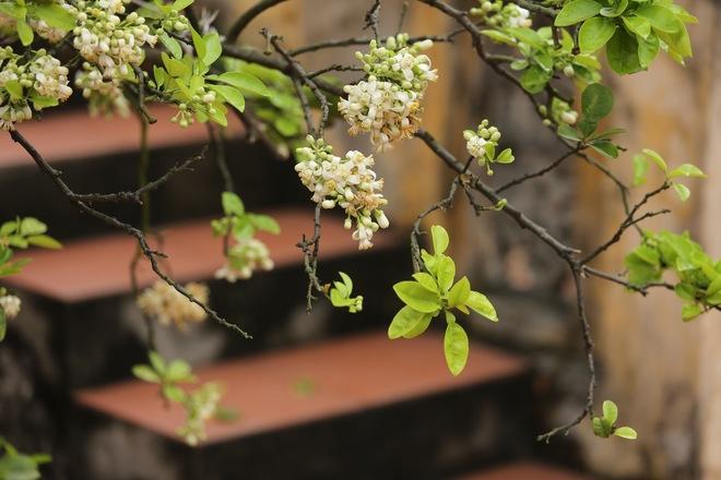 Hương bưởi tháng 3 ngào ngạt khắp phố