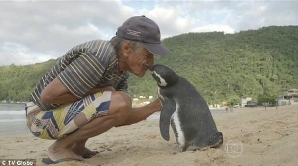 Ngư dân Joao Pereira de Souza, 71 tuổi, ở một hòn đảo ngoài khu vực Rio de Janeiro ở Brazil đã phát hiện một chú chim cánh cụt nhỏ xíu, gầy gò trên bãi đá từ năm 2011. Nó trông rất đói và bị dính đầy dầu trên lông. Ông Souza đã mang chú chim cánh cụt về và chăm sóc đến khi nó khỏe lại. Ông đặt tên chú chim cánh cụt này là Dimdim. Khi Dindim khỏe lại, ông Souza thả nó về biển. Ông không hề nghĩ sẽ gặp lại nó. Ông đã rất ngạc nhiên khi chỉ vài tháng sau, chú chim cánh cụt trở về hòn đảo này, nhận ra ông Souza và trở về nhà với ông. Mỗi năm, Dimdim lại dành 8 tháng ở cùng ông de Souza, 4 tháng còn lại ra ngoài khơi bờ biển của Argentina và Chile để sinh sản. Chú chim không bay được này đã bơi khoảng 8.000 km để trở về với ông Souza.