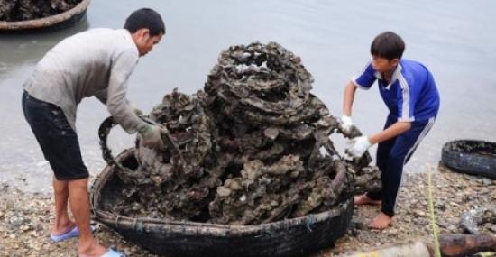 Loại hình nuôi hàu bằng lốp xe cũ là hiện tượng khiến dư luận hoang mang một thời, nay đã trở lại với quy mô rộng lớn. Mặc dù có không ít cảnh báo về nguy cơ gây ung thư cao từ hàu nuôi theo cách này, nhưng vì lợi nhuận, mọi thứ đều được bỏ ngoài tai.  Một người dân nuôi hàu tại thị trấn Lăng Cô, huyện Phú Lộc, Thừa Thiên - Huế cho biết: Hàu được nuôi từ tháng 3 đến khoảng tháng 12 lấy lên, chẻ ra và bán. Mỗi năm bỏ khoảng 300-400.000 lốp xe được ngâm xuống vịnh Lăng Cô&