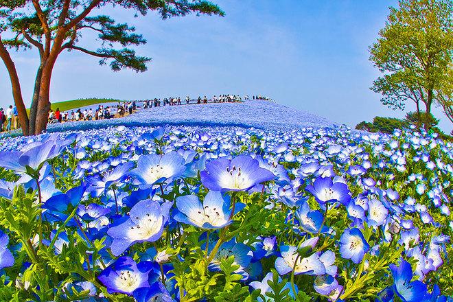 Trời đất hòa làm một ở cánh đồng hoa xanh Nhật Bản
