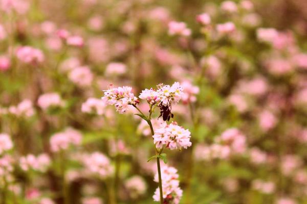 Được biết, thầy trụ trì chùa đã mang loài hoa tam giác mạch từ Hà Giang về trồng trước khuôn viên chùa. Khí hậu Đà Lạt mát mẻ nên loài hoa này dễ sống, phát triển và nở rộ hoa ngay giữa tháng 5.