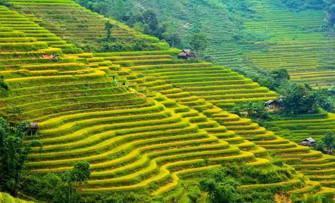 'Mùa vàng' đến sớm ở Hoàng Su Phì