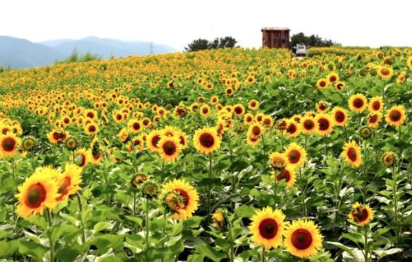 Ba ngôi làng hoa hướng dương ngỡ như cổ tích ở Hàn Quốc