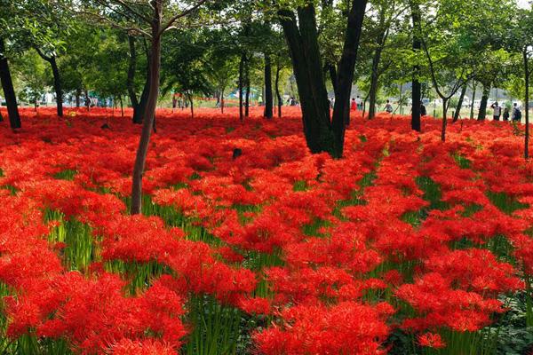 Hoa nở vào tiết thu phân, cũng là lúc mà người dân Nhật Bản đi tảo mộ, bởi họ quan niệm đây là khoảng thời gian giao thoa với người thân đã mất hoàn hảo nhất. Hoa bỉ ngạn cũng vì thế mà mang trên mình ý nghĩa linh thiêng, như một sợi dây kết nối giữa hai thế giới.