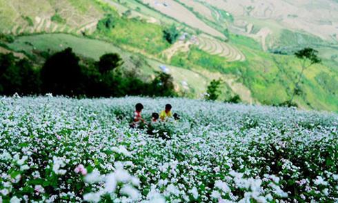 Đồi tam giác mạch bạt ngàn trên đỉnh đèo Khau Phạ