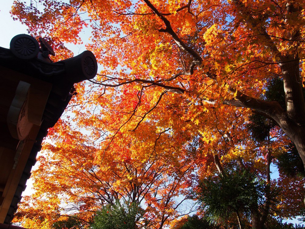 Autumn-Leaves-in-Kyoto-Genko-a-8425-3653