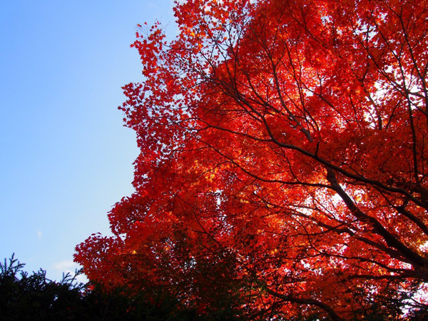 Autumn-Leaves-in-Kyoto-Genko-a-9746-6336