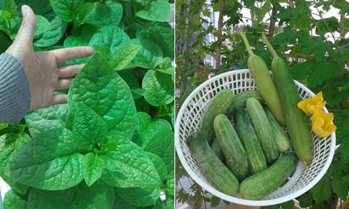 Khu vườn trong thùng xốp cho rau ăn không kịp