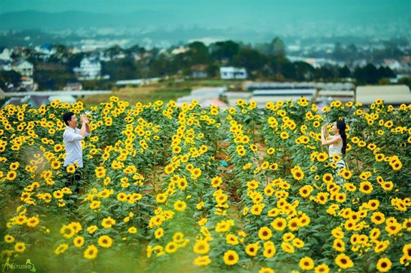 Đến Đà Lạt check in đồi hoa hướng dương nở bung sau Tết