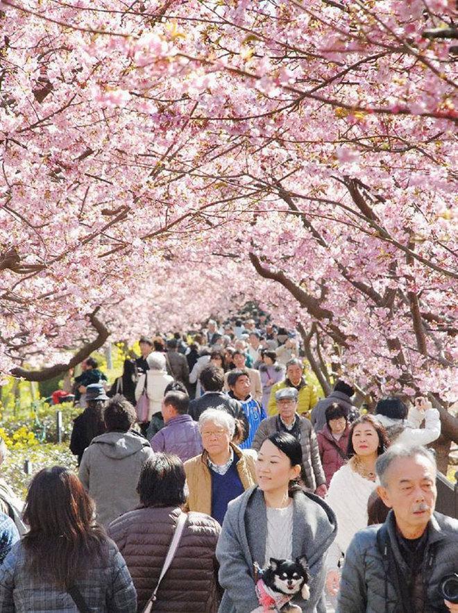 Nơi mùa anh đào đến sớm nhất ở Nhật