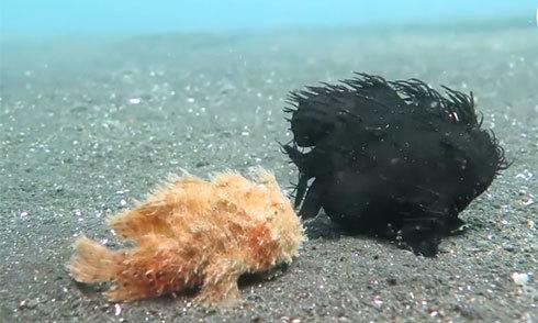 Đôi cá ếch đi bộ dưới đáy biển