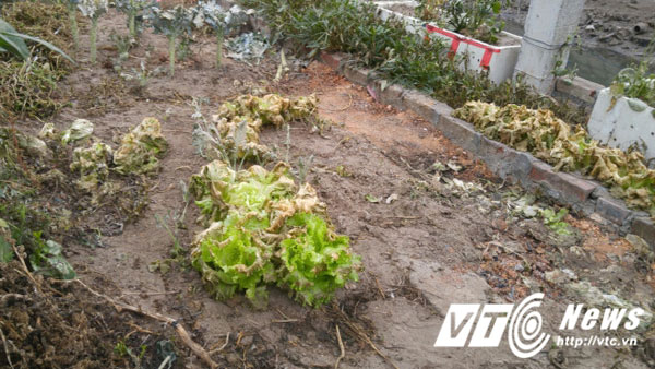 Luống rau xà lách bị phun thuốc diệt cỏ chết héo, người nhà ăn vào ngộ độc.