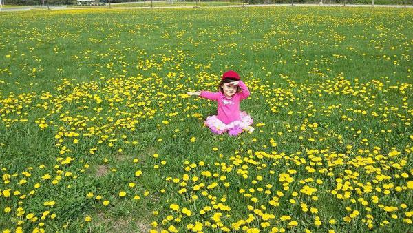Hoa bồ công anh 'dát vàng' những đồng cỏ ở Canada
