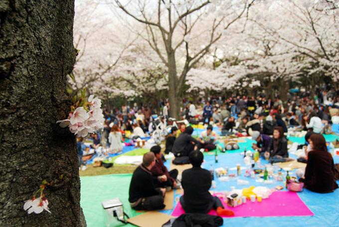 Tổ chức lễ hội Hanami là nét văn hóa truyền thống được mong đợi ở Nhật mỗi độ xuân về