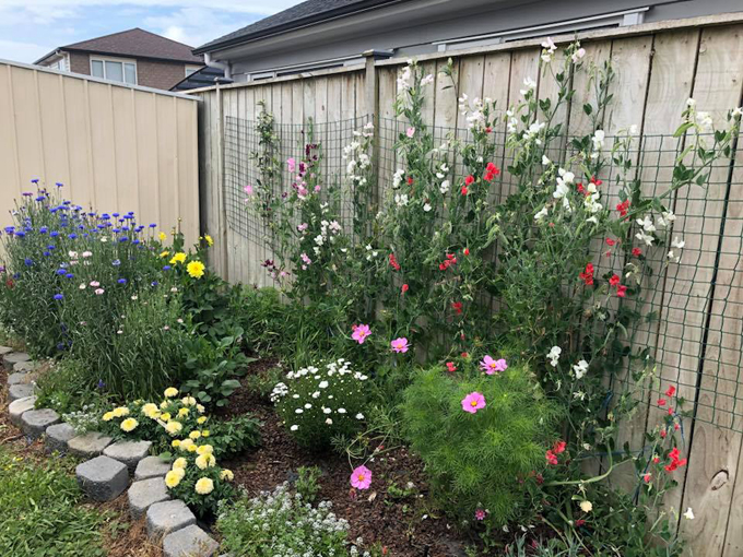 Cây hoa ly 'vỡ kế hoạch' 40 bông trong vườn của mẹ Việt ở New Zealand