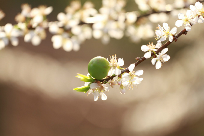 Một số cây đã bung nở hết số hoa và bắt đầu đậu quả. Thời tiết tháng 1 nhiều ngày thuận lợi, trời quang, có nắng nhẹ, rất thích hợp để dã ngoại, chụp ảnh. Nhiều gia đình còn có sở thích cắm trại ngay dưới những con đường nở đầy hoa, với dụng cụ mang sẵn từ ở nhà. Ảnh: Thanh Hoà