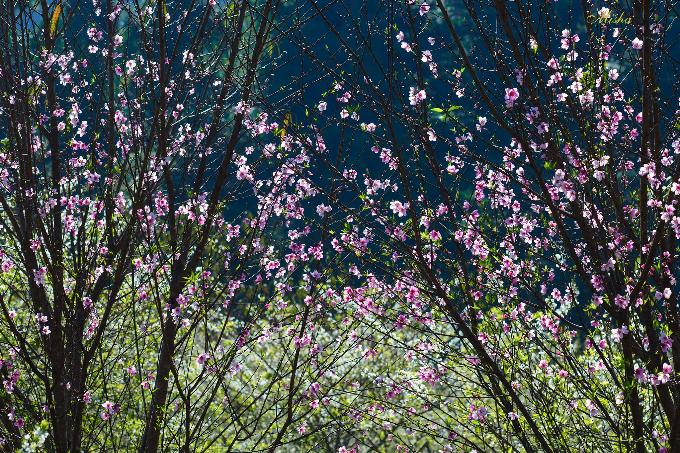 Bên cạnh hoa mơ, mận trắng thì hoa đào rừng cũng đã nở rộ hết cỡ dưới tiết trời ấm áp. Ảnh: Đặng Thuỳ Linh