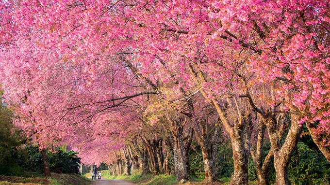 Tết này, dạo chơi ở thung lũng thập lý đào hoa - 10