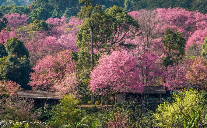 Tết này, dạo chơi ở thung lũng thập lý đào hoa - 2