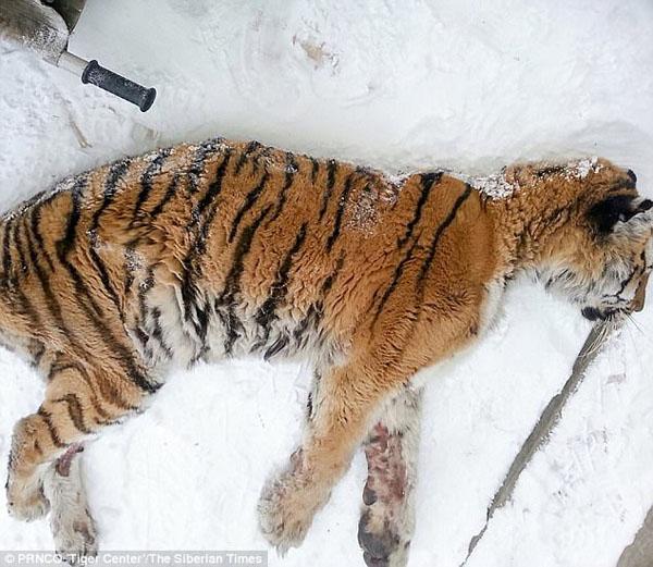 Con hổ nằm sóng xoài trước cửa nhà anh Alexey. Ảnh: Siberian Times