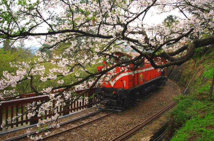 Dự báo lịch hoa anh đào nở ở Đài Loan năm 2018