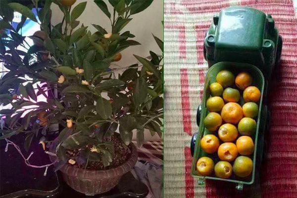 Dưới phần bình luận, chị Nguyễn Phương Oanh cũng chia sẻ bức ảnh cây quất bị con vặt sạch quả làm đồ chơi.