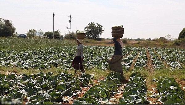 Ruộng bắp cải rộng 4,5 ha của ông Reddy.