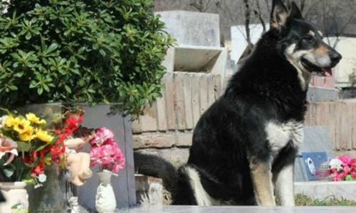 Chú chó qua đời sau 11 năm nằm ngủ bên mộ chủ