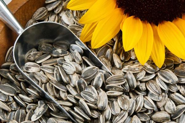 Hạt hướng dương chứa nhiều vitamin B, vitamin E, nhiều calories và chất xơ giúp nâng cao khả năng kiềm chế cơn đói