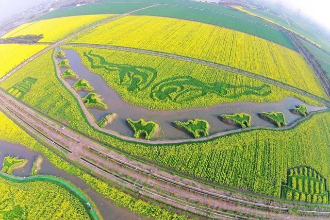 Những thảm hoa cải vàng ở Trung Quốc