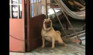 Chó Pug mê tít nhạc Sơn Tùng M-TP